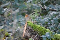Robin sitting on log Royalty Free Stock Photography