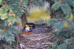 Robin sitting on nest Royalty Free Stock Images