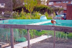 Robin sitting on a netted wooden frame stock images