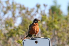 Robin. This is a robin sitting on a sign Royalty Free Stock Photo