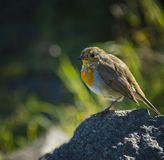 A robin sitting on a stone on a sunny day.  royalty free stock photo