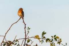 A robin is sitting in the sunshine on top of a thorny branch royalty free stock image
