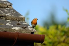 A small red chested bird, a Robin, sitts on a tiled roof royalty free stock photos