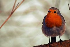 Robin. Sitting on a tree branch Royalty Free Stock Photos