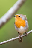 Robin Sitting On a Twig very detailed portrait Stock Image