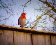 Robin-Sitzen stolz Lizenzfreie Stockfotos