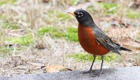 Robin slaat stelt Royalty-vrije Stock Foto's
