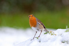 Robin in snow Stock Image