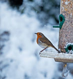Robin and Snow Stock Photo