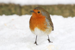 Robin in Snow. Stock Photography