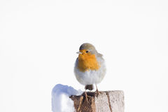 Robin in the snow Stock Image