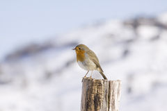 Robin in the snow Royalty Free Stock Photography