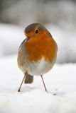 Robin In Snow Royalty Free Stock Photography