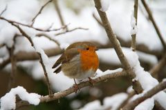 Robin In Snow Royalty Free Stock Photo