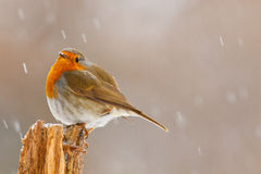 Robin in the snow. Robin in winter on a rotting log Royalty Free Stock Image