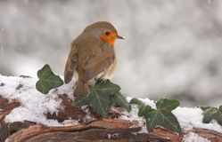 Robin in snow. European Robin (Erithacus rubecula) on branch in snow Royalty Free Stock Image