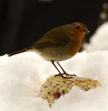Robin in the snow. A robin sitting on bread Stock Images