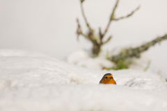 Robin in the snow. A Robin (Erithacus rubecula) appears half hidden in the snow on a cold winter morning at the Picos de Europa, northern Spain royalty free stock photo