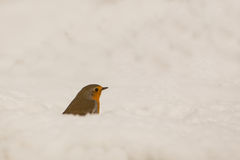 Robin in the snow. A Robin (Erithacus rubecula) appears half hidden in the snow on a cold winter morning at the Picos de Europa, northern Spain stock photo