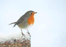Robin on a snow covered log in a cottage garden.