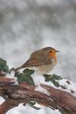 Robin in snow. European Robin (Erithacus rubecula) on branch in snow Stock Photo