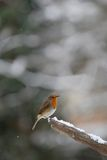Robin with snow falling. Robin on snow covered tree stump with snow falling in background stock photo