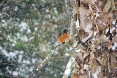 Robin on a Snowy Birch Limb II Royalty Free Stock Photo