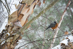 Robin on a Snowy Birch Limb III stock photos