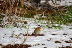Robin in snowy garden Stock Photography