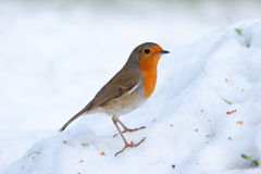 Robin on Snowy Mound Royalty Free Stock Photography