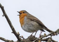 Robin in song. Robin erithacus rubecula in full song Stock Photos