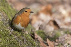 A robin on Southampton Common. A robin on a mossy branch on Southampton Common royalty free stock photo