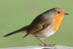 A robin on Southampton Common stock photos