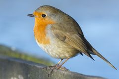 A robin on Southampton Common stock images