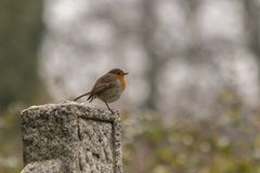 A robin in Southampton Old cemetery stock photo