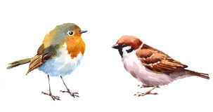 Robin and Sparrow Birds Watercolor Illustration Set Hand Drawn. Hand drawn Watercolor illustration Set of Robin and Sparrow Birds isolated on white background Stock Photography