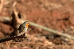Robin in the spring. A robin in the spring Stock Photography