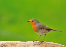 Robin of spring. Robin perched on a branch of a tree Stock Photo
