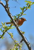 Robin in spring stock photography