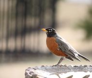 Robin in Spring. Spring Robin in Iowa Royalty Free Stock Images