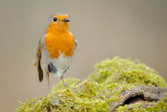 Robin. A spring Robin perched on a branch with green moss covering it and the wind blowing Stock Images
