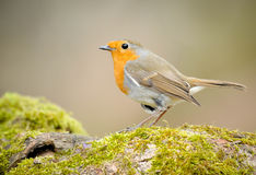 Robin. A spring Robin perched on a branch with green moss covering it and the wind blowing Royalty Free Stock Image
