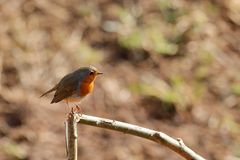 Robin in the spring. A robin in the spring Royalty Free Stock Images