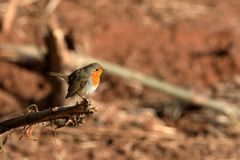 Robin in the spring. A robin in the spring Royalty Free Stock Photo