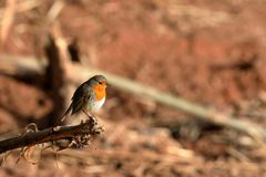 Robin in the spring. A robin in the spring Royalty Free Stock Photography