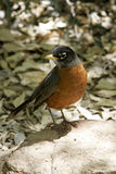 Robin in Spring Royalty Free Stock Image