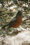 Robin in Spring Stock Images