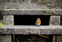 Robin On Stairs In The-Tuin Royalty-vrije Stock Fotografie