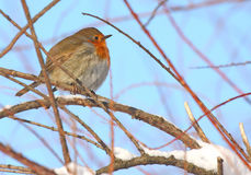 Robin standing on branch Royalty Free Stock Photo