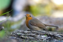 Robin standing on a branch royalty free stock image